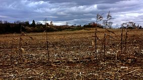 Dry corn stalks Royalty Free Stock Images