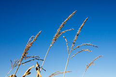 Dry Corn Tassels Against Blue Sky Stock Image