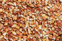 Dry corn texture Royalty Free Stock Photos