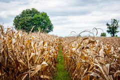 Dry corn and tree field in autumn Royalty Free Stock Photos