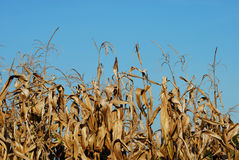 Dry cornfield Stock Photography
