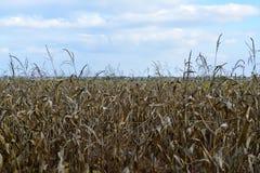 Dry cornfield. A dry cornfield in autumn stock photos