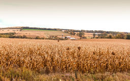 Dry Cornfield. At the end of season Stock Photography
