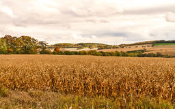 Dry Cornfield. At the end of season Stock Image