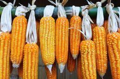 Dry Corns. Dry corn keep in house to as seeds to plant in planting season Stock Photo