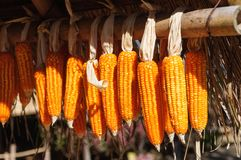 Dry Corns. Dry corn keep in house to as seeds to plant in planting season Stock Image