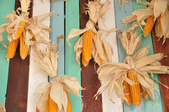 Dry corns hanging color wall Royalty Free Stock Photography