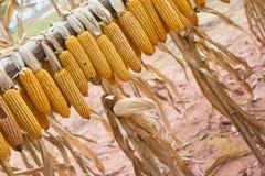 Dry corns hanging Stock Image