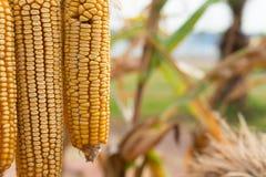 Dry corns hanging near the field Royalty Free Stock Photo