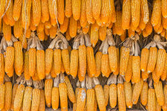 Dry corns wall. A lot of dry corns hanging on the wall Royalty Free Stock Image