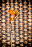 Dry cosmos flower with brown handicraft weave texture wicker sur Royalty Free Stock Images