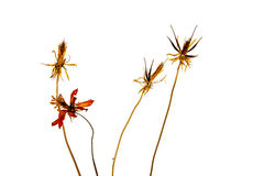 Dry cosmos flowers isolated on white background Stock Photography