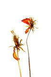 Dry cosmos flowers isolated on white background Royalty Free Stock Photos