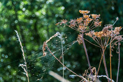 Dry cow parsley flower and spider web nature background Royalty Free Stock Photo
