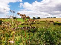 Dry cow parsley and the rolling countryside royalty free stock photo