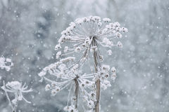 Dry cow parsnip, snow. Winter Stock Photo
