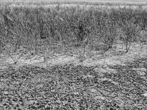 Dry cracked clay in corner of wheat field. Dusty deep cracks and wilted flowers. Royalty Free Stock Images