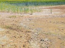 Dry cracked clay in corner of wheat field. Dusty deep cracks and wilted flowers. Royalty Free Stock Photography