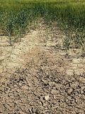 Dry cracked clay in corner of wheat field. Dusty ground with deep cracks and flowers. Stock Image