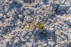 Dry cracked earth with plant struggling for life. At salt lake with copy space.Concept image royalty free stock photography