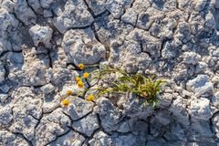 Dry cracked earth with plant struggling for life. At salt lake with copy space.Concept image royalty free stock image