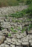 Dry and cracked ground. Morning glory growing on dry and cracked ground Royalty Free Stock Photography
