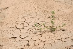 Dry cracked ground with surviving plant. In extremely dry weather royalty free stock photography