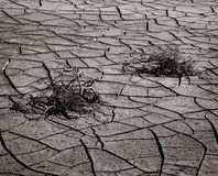 Dry cracked soil and  plant. In desert, Black and white background Stock Photography