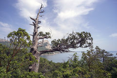 Dry Crimean juniper tree on  hillside near the Black sea. Stock Photography