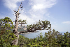 Dry Crimean juniper tree on  hillside near the Black sea. Royalty Free Stock Photos