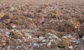 Dry crop field Royalty Free Stock Photography