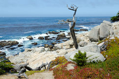 Dry cypress tree on Pacific cost. In Monterey area , California Royalty Free Stock Image