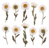 Dry daisy flowers. Pressed daisy flowers isolated on white background Stock Photo