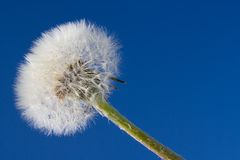 Dry dandelion Stock Photo
