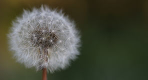 Dry dandelion Royalty Free Stock Images