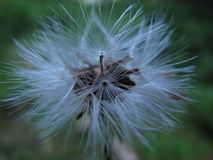 Dry dandelion Stock Photography