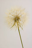 Dry dandelion isolated on cream background Royalty Free Stock Image