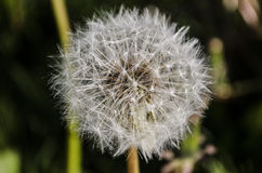Dry dandelion with seeds. Close up detail of a dry dandelion with seeds Royalty Free Stock Photos