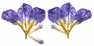 Dry dark blue, purple  perspective delicate flowers of iris with. Pressed yellow and white petals isolated on scrapbook background Stock Photography