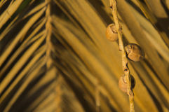 Dry date palm leaf and dates Stock Photography