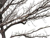 Free Dry Dead Branch Isolated On White Background. Stock Image - 196299231