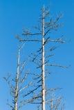 Dry dead European pine trees on blue sky Stock Image