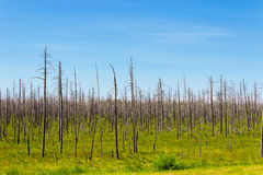 Dry dead forest Royalty Free Stock Images