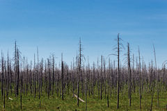 Dry dead forest Stock Photography