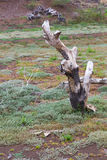 Dry, dead grass, stumps Stock Images
