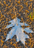 Dry dead leaf Stock Images