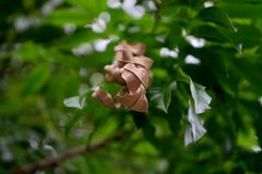 Dry Dead Leaves Among Green Leaves. In a tree branch Royalty Free Stock Images