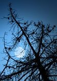 Dry dead pine tree silhouette and full Moon. Above deep blue sky Royalty Free Stock Images