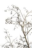 Dry dead plant on a white background. Branches of alder.  stock photo