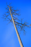 Dry dead tree against the sky Royalty Free Stock Image